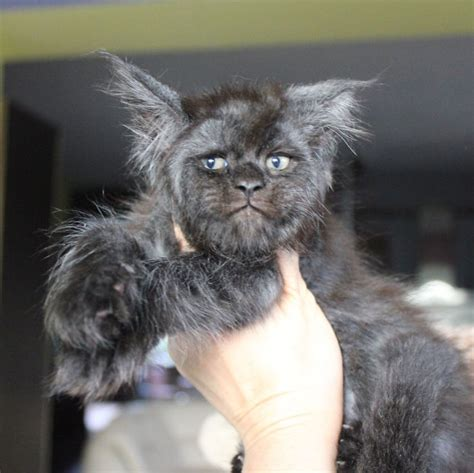Meet Valkyrie, The Maine Coon Cat With A Human-Like Face