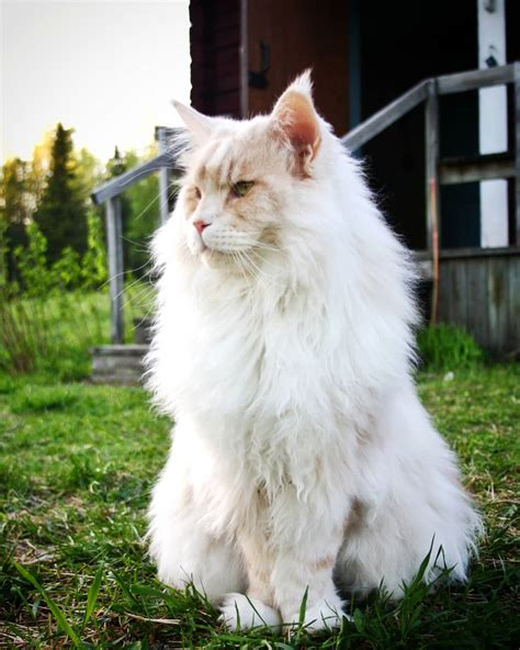 Meet Lotus, The Huge Fluffy Maine Coon Cat That's Going
